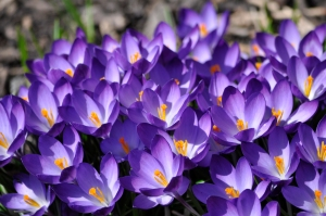 purple_crocuses_flowers_spring__free_download__one_million_wallpapers